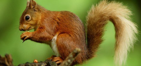 Foto: Eichhörnchen hält eine Nuß zwischen den Pfoten