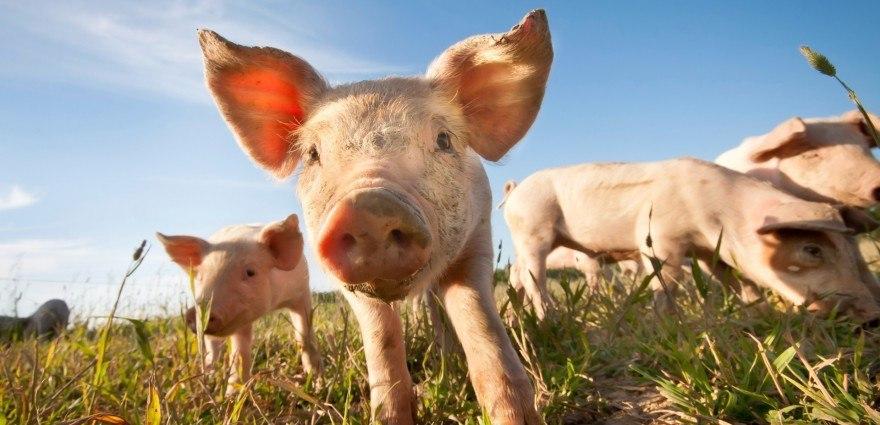 Foto: Kleine Schweinchen auf einer Wiese