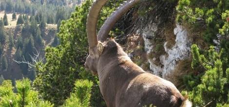 Foto: Steinbock in den Alpen