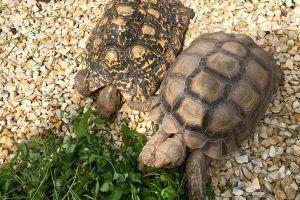 Foto: Eine Spornschildkröte und Pantherschildkröte beim Vesper
