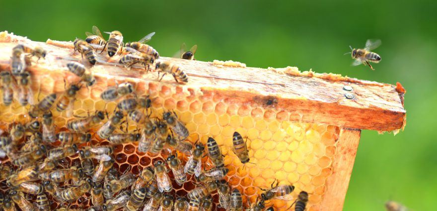 Foto: Bienenschwarm auf Honigwaben