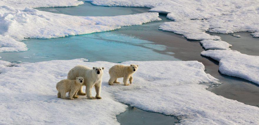 Bild: Eisbären auf einer Eisscholle