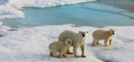 Foto: Drei Eisbären im schmelzenden Schnee