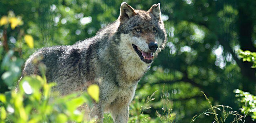 Foto: Wolf