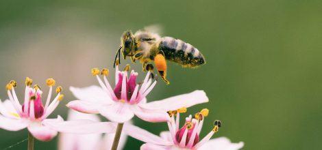 Foto: Eine Biene nascht Pollen