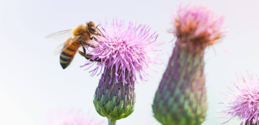 Foto: Biene bestäubt Diestel