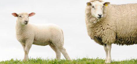 Foto: Lamm und Schaf auf der Weide