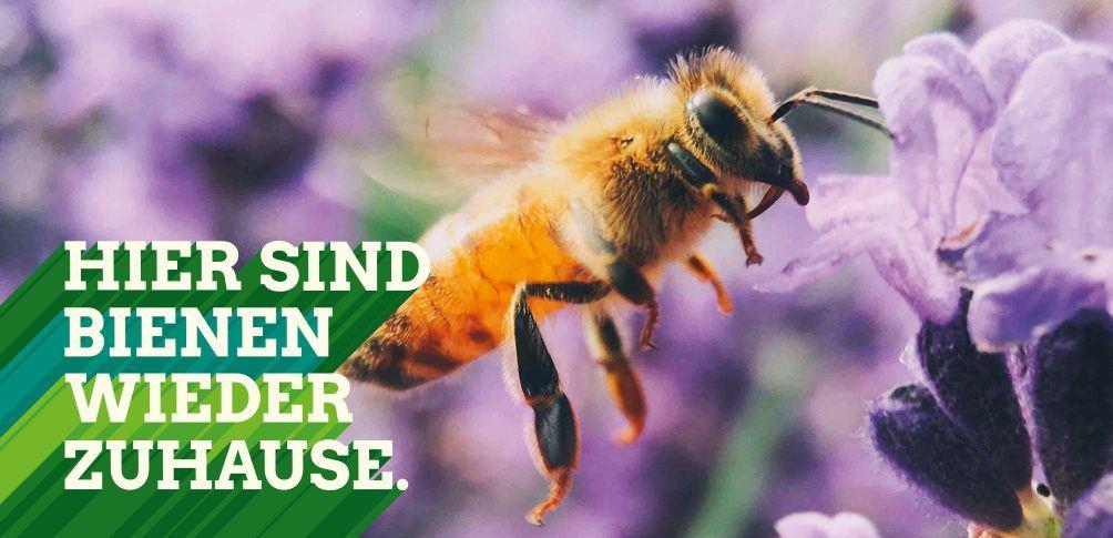 Foto: Hier sind Bienen wieder zuhause - Biene nascht an Lavendelblüte