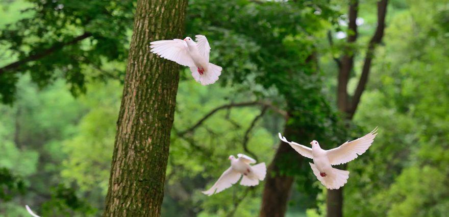 Foto: Weiße Tauben vor Bäumen
