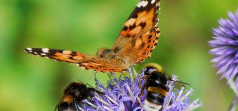 Hummeln und Schmetterling auf Distel