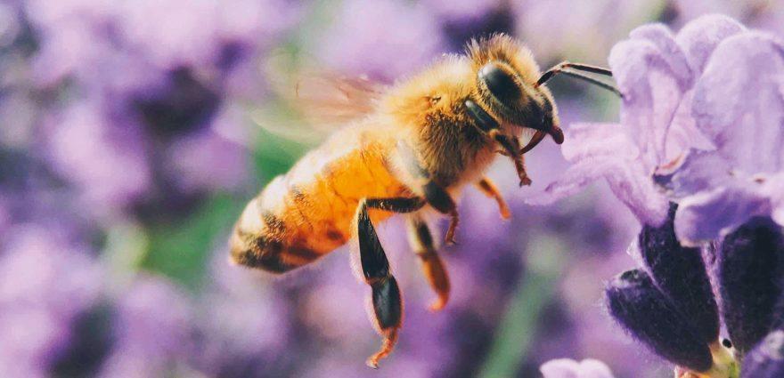 Foto: Biene bestäubt Lavendel