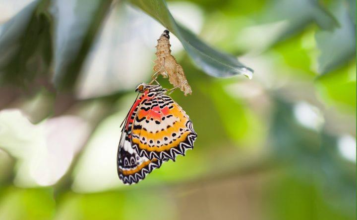 Foto: Schmetterling schlüpft aus seiner Puppe